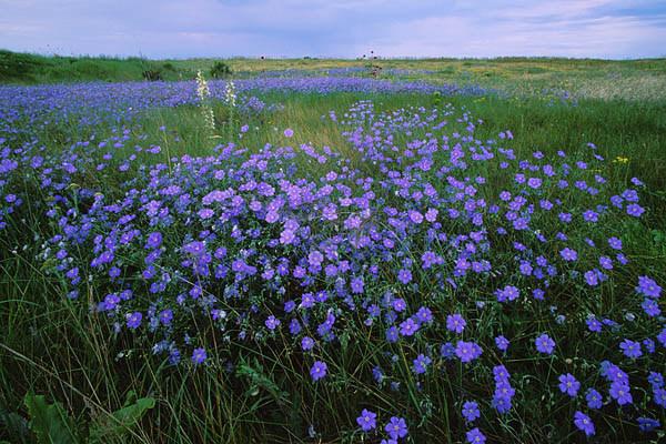 flax-plants