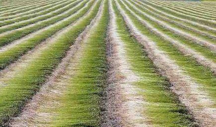 Dew-retting-linen-435x255